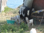 cute baby goats & angry mommy